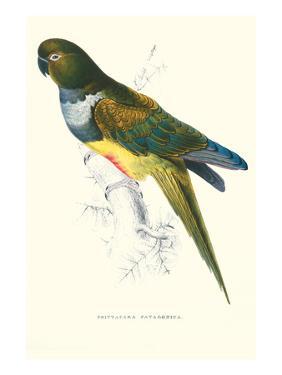 Patagonian Parakeet Macaw - Cyanoliseus Patagonus by Edward Lear