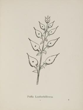 Puffia Leatherbellowsa. Illustration From Nonsense Botany by Edward Lear, Published in 1889. by Edward Lear
