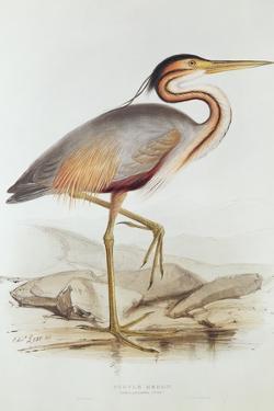 Purple Heron by Edward Lear