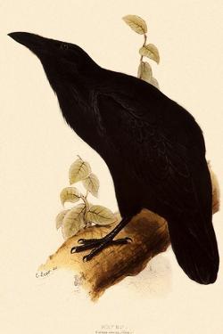 Raven, Corvus Corax by Edward Lear