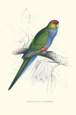 Red Capped Parakeet Female - Purpureicephalus Spurius by Edward Lear