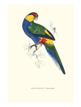 Red Capped Parakeet Male -Purpureicephalus Spurius by Edward Lear