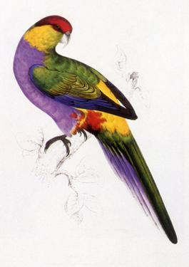 Red-Capped Parrot, Purpureicephalus Spurius by Edward Lear