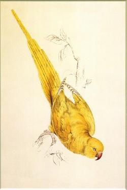 Rose-Ringed Parakeet, Psittacula Krameri by Edward Lear
