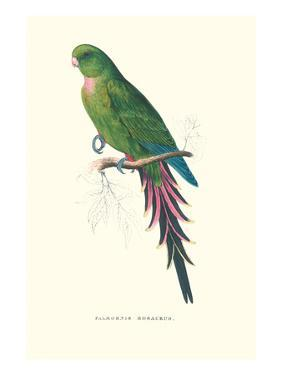 Roseate Parakeet - Polytelis Swainsoni by Edward Lear