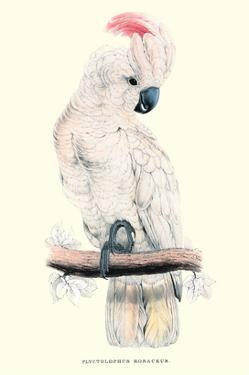 Salmon-Crested Cockatoo - Cacatua Moluccensis by Edward Lear
