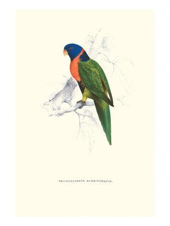 Scarlet-Collerd Parakeet - Trichoglossus Rubritorquis