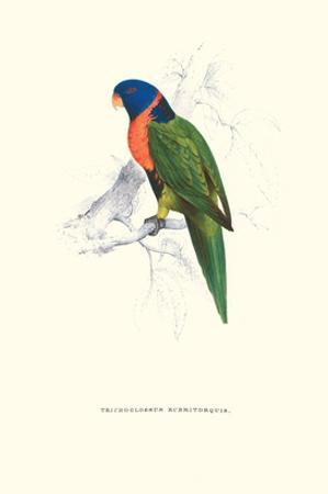 Scarlet-Collerd Parakeet - Trichoglossus Rubritorquis by Edward Lear