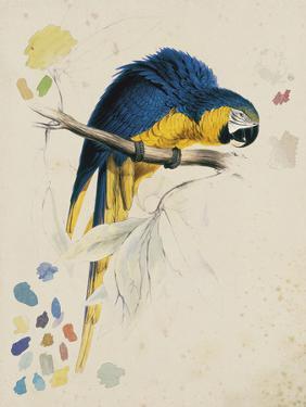 Sketchbook Macaw I by Edward Lear