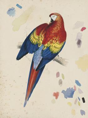Sketchbook Macaw II by Edward Lear