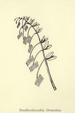 Smalltoothcombia Domestica by Edward Lear