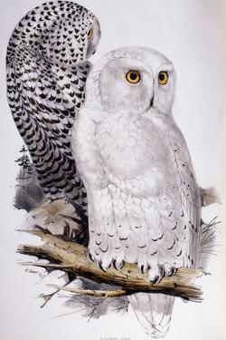 Snowy Owl, 1832-1837 by Edward Lear