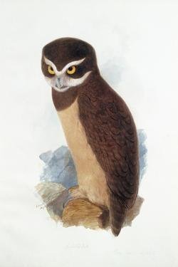 Spectacled Owl, August 1836 by Edward Lear