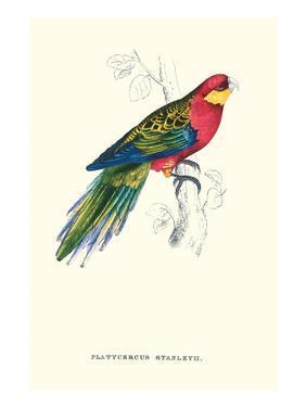Stanley Parakeet Male - Platycercus Icterotis by Edward Lear