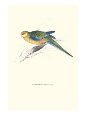 Stanley Parakeet Young Male - Platycercus Icterotis by Edward Lear