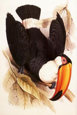 Toco Toucan, Ramphastos Toco by Edward Lear