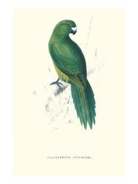 Uniform Parakeet - Cyanoramphus Unicolor by Edward Lear