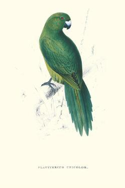 Uniform Parakeet - Cyanoramphus Unicolor by Edward Lear