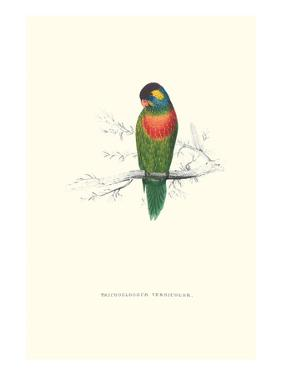 Variegated Parakeet - Trichoglossus Versicolor by Edward Lear