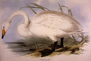Whooper Swan, Cygnus Cygnus by Edward Lear