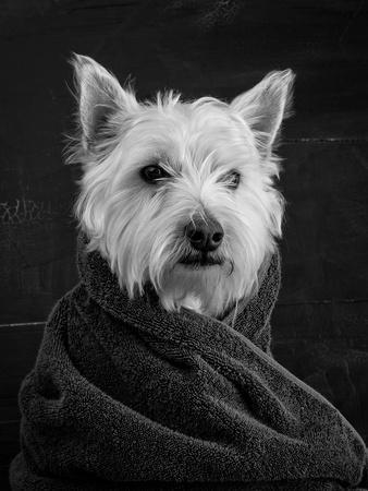Portrait of a Westy Dog