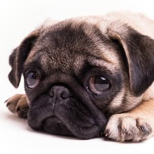 Sad Sack Pug by Edward M. Fielding