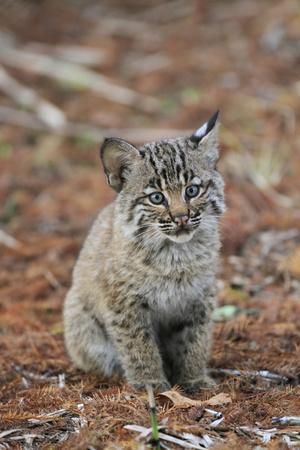 Bobcat (Lynx rufus) cub, sitting, Florida, USA