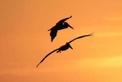 Brown Pelican (Pelecanus occidentalis) two, in flight, silhouetted at sunrise, Florida