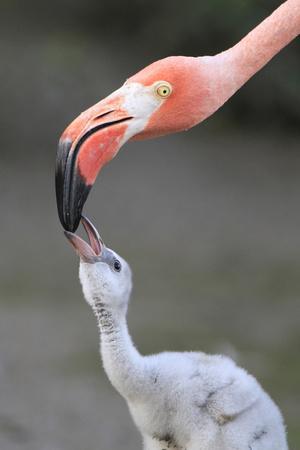 Caribbean Flamingo (Phoenicopterus ruber) adult, feeding three-day old chick (captive)
