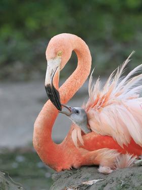 Caribbean Flamingo (Phoenicopterus ruber) adult, feeding three-day old chick on nest (captive) by Edward Myles