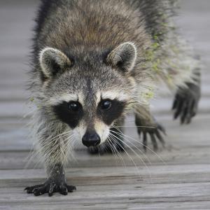 Common Raccoon (Procyon lotor) adult, walking on boardwalk in swamp, Florida, USA by Edward Myles