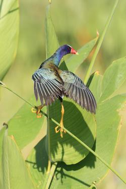 Purple Gallinule (Porphyrio martinicus) adult, foraging, Florida by Edward Myles