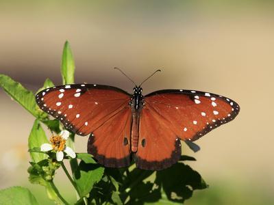 Queen Butterfly (Danaus gilippus) adult, sunning, Florida, USA
