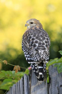 Red-shouldered Hawk (Buteo lineatus) adult, hunting from fence, Florida, USA by Edward Myles