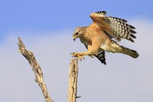 Red-shouldered Hawk (Buteo lineatus) adult, in flight, landing on dead tree, Florida by Edward Myles