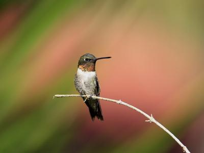 Ruby-throated Hummingbird (Archilochus colubris) adult male, perched on twig, Florida, USA
