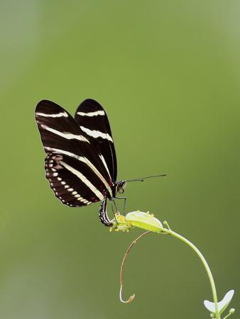 Zebra Longwing (Heliconius charitonius) adult, laying eggs on leaves, Florida, USA