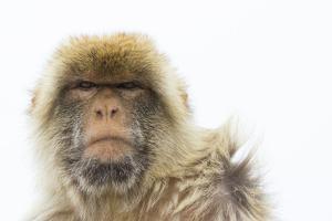 Barbary Macaque (Macaca Sylvanus) Portrait, Gibraltar Nature Reserve, Gibraltar, June by Edwin Giesbers