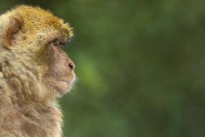 Barbary Macaque (Macaca Sylvanus) Profile, Portrait, Gibraltar Nature Reserve, Gibraltar, June by Edwin Giesbers