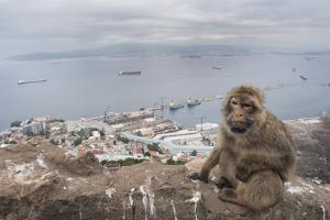 Barbary Macaque (Macaca Sylvanus) Sitting with Harbour of Gibraltar City in the Background by Edwin Giesbers