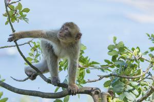 Barbary Macaque (Macaca Sylvanus) Youngster Climbing, Gibraltar Nature Reserve, Gibraltar by Edwin Giesbers