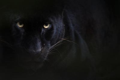 Black panther / melanistic Leopard (Panthera pardus) portrait, captive.
