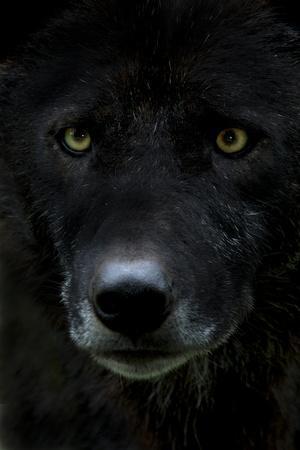 Grey Wolf (Canis Lupus) Head, Captive