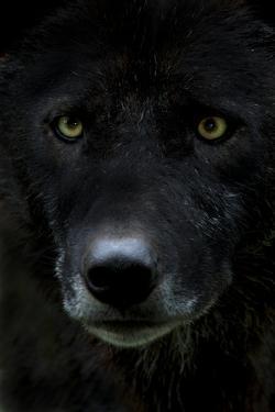 Grey Wolf (Canis Lupus) Head, Captive by Edwin Giesbers