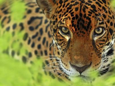 Jaguar Portrait, Costa Rica by Edwin Giesbers