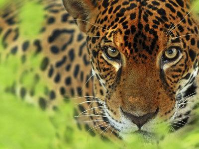 Jaguar Portrait, Costa Rica