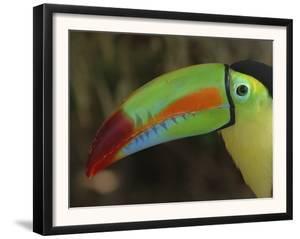 Keel Billed Toucan, Costa Rica by Edwin Giesbers
