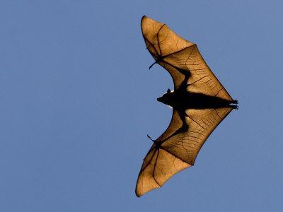 Madagascar Fruit Bat Flying Fox Berenty Reserve, Madagascar