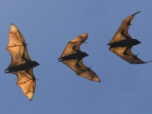 Madagascar Fruit Bat Flying Fox Berenty Reserve, Madagascar by Edwin Giesbers