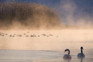 Mute Swan (Cygnus Olor) Pair on Misty Lake by Edwin Giesbers